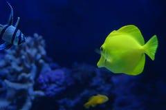 tropikalnych ryb Fotografia Royalty Free