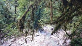 Tropikerna i en tät grön skog på en molnig dag Buxbom utan sidor som förstörs av en cudalima för mal för fjärilsaskträd royaltyfria foton