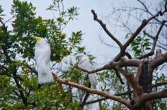 Tropiques d'oiseaux, perroquets blancs Zoo Tokyo Japon d'Ueno image libre de droits