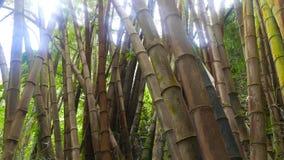 Tropisch bamboebos stock video