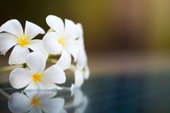 Tropisch bloemplumeria en water stock foto