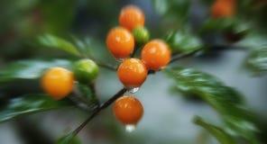 Tropisch fruit Royalty-vrije Stock Afbeelding