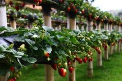 Tropisch Fruit Royalty-vrije Stock Fotografie
