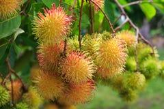 Tropisch fruit, Rambutan op boom Stock Fotografie