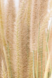 Tropisch gras voor achtergrond Royalty-vrije Stock Foto's