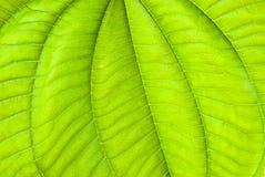 Tropisch groen blad - abstracte achtergrond Stock Afbeeldingen