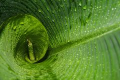 Tropisch groen en nat banaanblad royalty-vrije stock foto