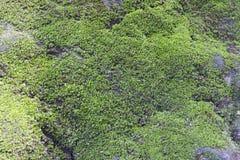 Tropisch Moss Texture Stock Afbeeldingen