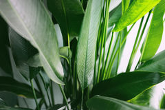 Tropisch palmblad, achtergrond van het aard de groene gebladerte, Royalty-vrije Stock Afbeeldingen