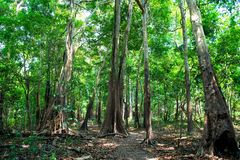 Tropisch regenwoud binnen in Manaus, Brazilië Bomen met groene bladeren in wildernis De zomerbos op natuurlijk landschap De aard  stock foto