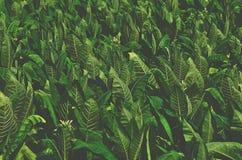 Tropisch Tabaks groen blad royalty-vrije stock afbeelding