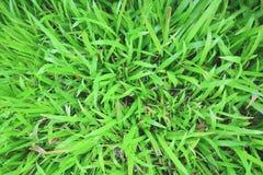 Tropisch tapijtgras Royalty-vrije Stock Foto's