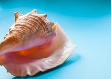 Tropisch vakantieconcept: grote tropische overzeese shell op een turkoois Royalty-vrije Stock Foto's