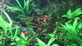 Tropisch zoetwateraquarium met vissen stock videobeelden
