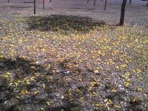 Tropische aard van de Ipê de gele grond Royalty-vrije Stock Foto