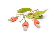 Tropische Acajoubaumfrüchte Lizenzfreies Stockfoto