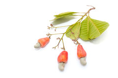 Tropische Acajoubaumfrüchte Lizenzfreies Stockbild