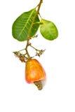 Tropische Acajoubaumfrüchte und -blatt Lizenzfreie Stockbilder