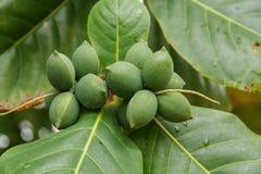 (Tropische amandel, de amandel van Bengalen, Indische amandel, Overzeese amandel, Strandamandel) Royalty-vrije Stock Foto