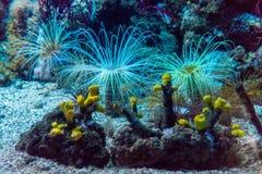 Tropische Anemonen Unterwasser Stockfoto