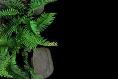 Tropische Anlage des Klingenfarns oder des Fishbonefarns, die in wildem, Spitze wächst Stockfotos