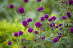 tropische Anlagen violett Stockfoto