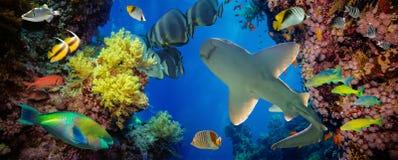 Tropische Anthias-Fische mit Nettofeuerkorallen und Haifisch Lizenzfreies Stockfoto