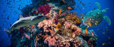 Tropische Anthias-Fische mit Nettofeuerkorallen und Haifisch Lizenzfreies Stockbild
