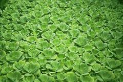Tropische aquatisch, watersla, groene waterplant, tropisch groen, achtergrond van de pistia stratiotes de tropische aard royalty-vrije stock fotografie