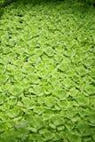 Tropische aquatisch, watersla, groene waterplant, tropisch groen, achtergrond van de pistia stratiotes de tropische aard stock fotografie