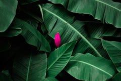 Tropische banaanbladeren geweven met het roze banaanbloesem bloeien Stock Fotografie