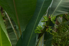 Tropische Bananen im Nationalpark Bako lizenzfreies stockbild