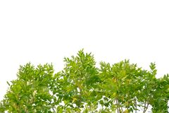Tropische Baumbl?tter mit Niederlassungen auf wei?em lokalisiertem Hintergrund stockfotografie