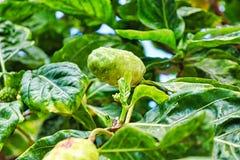 Tropische Baumfrucht mit vielen grünen Blättern lizenzfreies stockbild