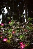 Tropische Baumrosablumen und verwirrter Niederlassungshintergrund Stockfoto