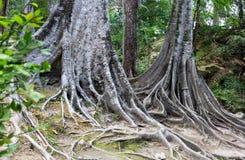 Tropische Baumwurzeln. Stockfoto