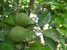 tropische bittere sinaasappel 2 Stock Foto