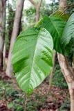 Tropische Blätter Lizenzfreies Stockfoto