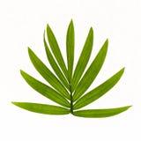 Tropische Blätter lokalisiert auf weißem Hintergrund stockfoto