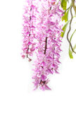 Tropische Blüte der Orchideenblume (Aerides-multiflora Roxb) Lizenzfreies Stockfoto