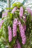 Tropische Blüte der Orchideenblume (Aerides-multiflora Roxb) Stockfoto