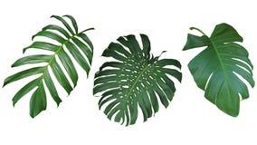 Tropische bladeren geplaatst die op witte achtergrond, het knippen weg worden geïsoleerd stock afbeeldingen