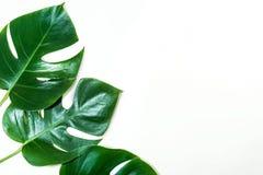 Tropische bladeren op witte kleurenachtergrond Wildernisblad Stock Afbeeldingen