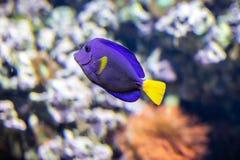 Tropische blauwe vissen royalty-vrije stock fotografie