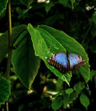 Tropische blauwe vlinder Royalty-vrije Stock Foto