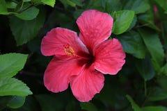 Tropische bloem Royalty-vrije Stock Afbeelding