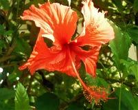 Tropische bloem in de Dominicaanse Republiek royalty-vrije stock afbeelding