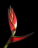 Tropische bloem Heliconia Royalty-vrije Stock Fotografie