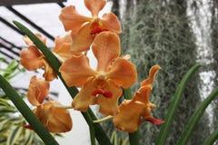 Tropische bloemen van Sri Lanka Stock Afbeelding
