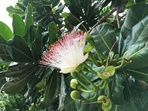 Tropische bloemen van Sri Lanka Stock Afbeeldingen